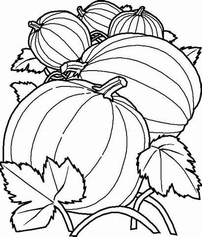 Coloring Pumpkins Pumpkin Pages Vine Delicous Drawing