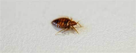 types  bed bugs   species jg pest control