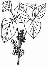Ivy Poison Plant Coloring Vine Drawing Border Cliparts Draw Template Piranha Getdrawings Sketch Clipartmag Clip Library Clipart sketch template