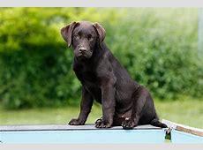Labrador Welpen Tipps und tolle Fotos