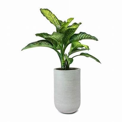 Vase Plant Plants Indoor Sunlight Need Maroba
