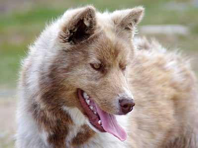 canadian eskimo dog information characteristics facts