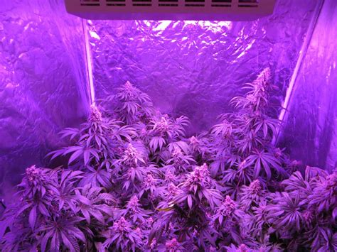 flowering cannabis with led lights how to use co2 to increase cannabis yields grow weed easy