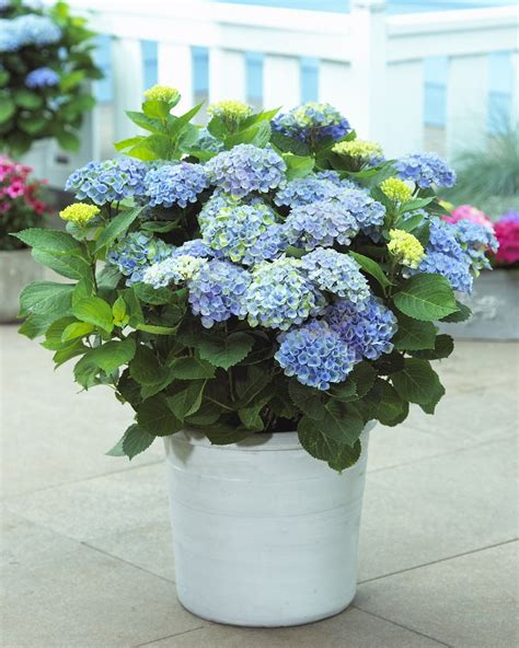 can hydrangeas be grown in pots top 10 tips on how to plant grow and care for hydrangeas