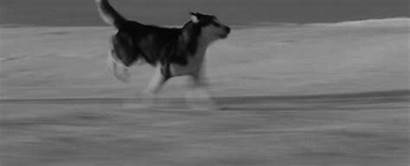 Husky Dogs Dog Wolf Snow Wolves Sled