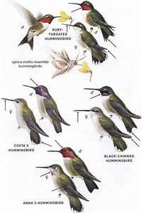 Hummingbirds Family Trochilidae - American Birds - Bird ...