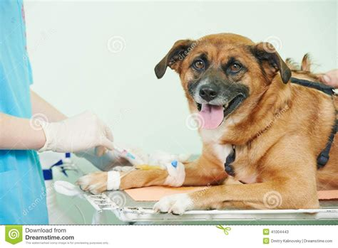 woods l examination in dogs veterinary blood test examination of the stock photo