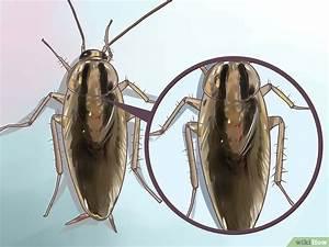 Können Kakerlaken Fliegen : eine kakerlake bestimmen wikihow ~ Watch28wear.com Haus und Dekorationen