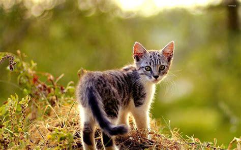 Beautiful Animal Wallpapers - beautiful small kitten wallpaper animal wallpapers 53011