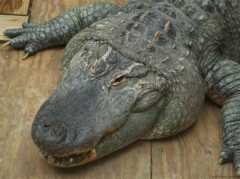 fill  car  alligator fat fuel