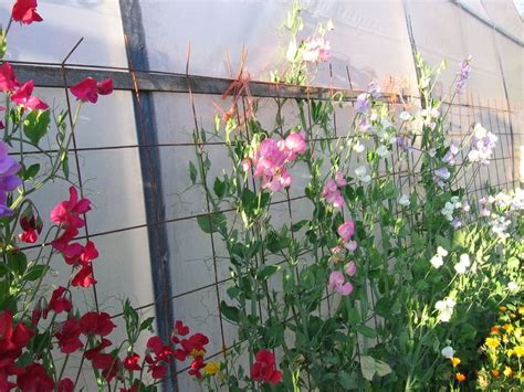 32 Best Images About Sweet Peas On Pinterest Gardens