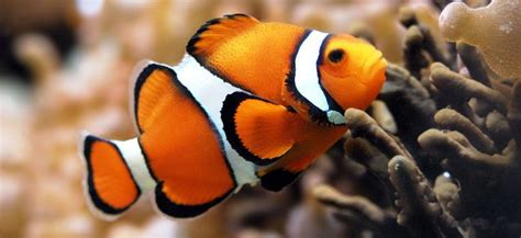 clownfish facts habitat diet prey