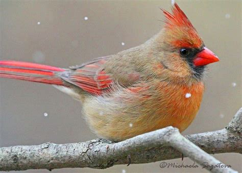 top 28 what does a cardinal look like baby cardinal