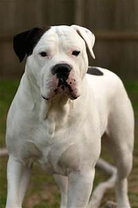 Gallery For > Female Black And White American Bulldog