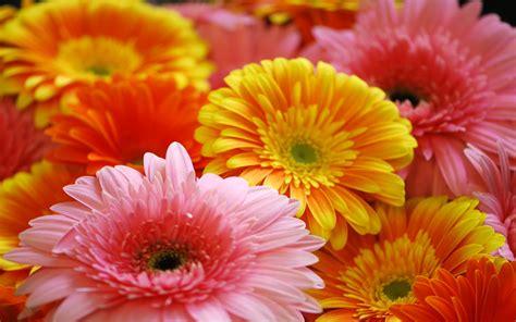 gerbera daisies flowers  wallpaperscom