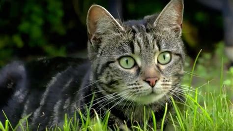 cats hunt cats uncovered bbc earth youtube