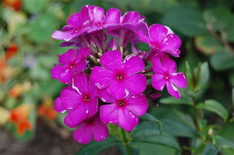 Plant Inventory At 20 Timothy Phlox Paniculata Garden