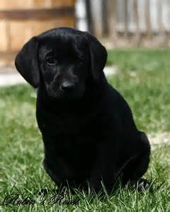 Beautiful Black Lab Puppies