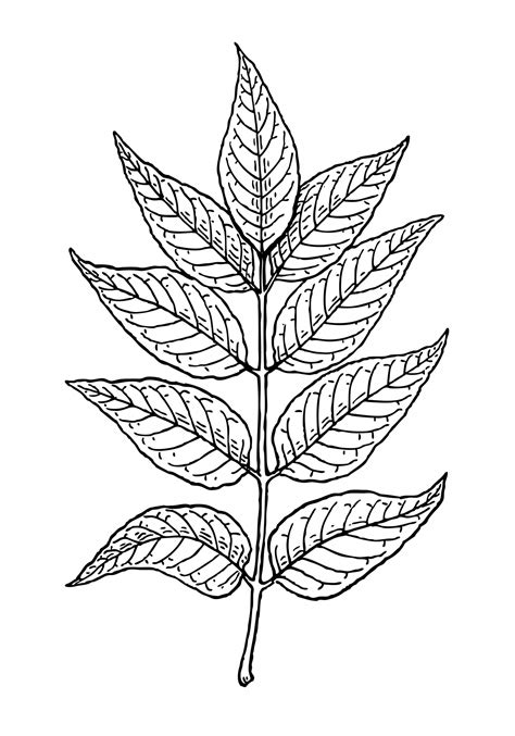 library  ash leaves clip art royalty  library png