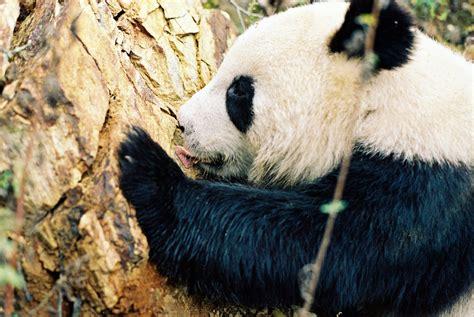 Giant Panda Wwf Canada