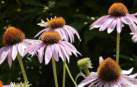 cone flowers coneflowers how to plant grow and care for coneflowers the old farmer s almanac