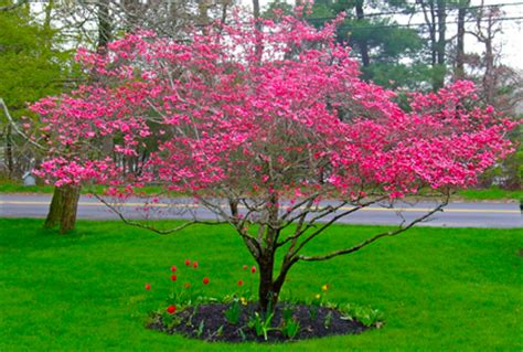 types of pink flowering trees best dogwood trees types facts pictures of landscaping ideas in the yard pinterest