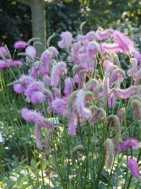 sanguisorba tenuifolia pink brushes wiesenknopf garten stauden rosa garten und