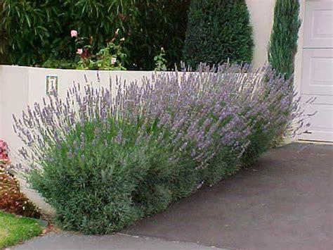 lavender hedge images dwarf lavender hello hello plants garden supplies
