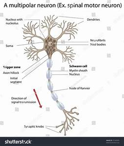 Diagram Of Motor Neurone