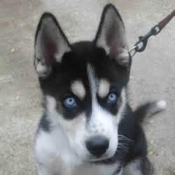 Siberian Husky Dog Names