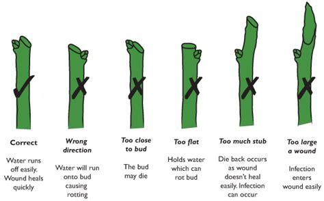 how to trim a bush pruning te kura horticulture