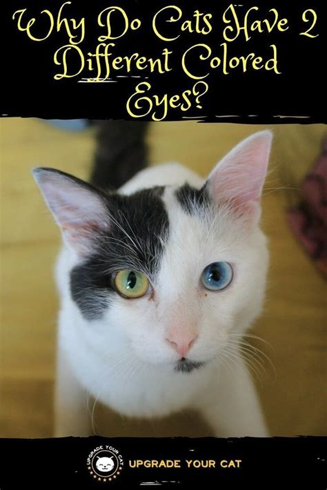 cats eyes different why colored cat health eye causes upgrade upgradeyourcat