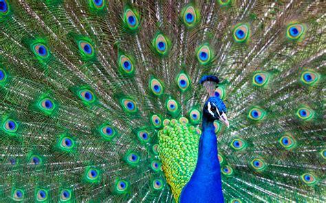 high definition peacock wallpaper