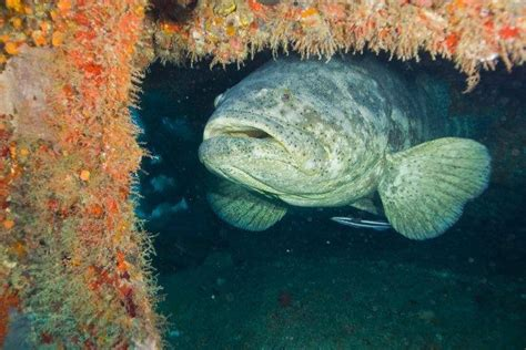 goliath grouper facts url report