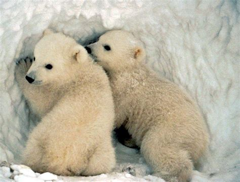 Polar Bears Pictures And Wallpapers