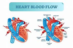 Heart Blood Flow Circulation Anatomical Diagram With