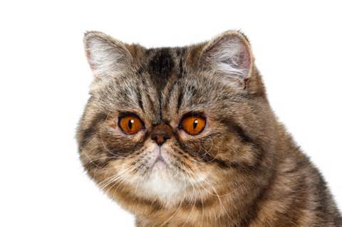 non shedding cats non shedding cats breeds picture