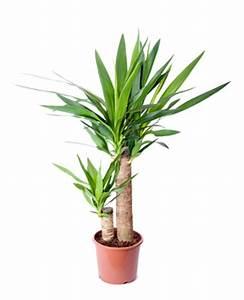Yucca Palme Pflege : yucca pflege tipps zu standort vermehrung ~ Eleganceandgraceweddings.com Haus und Dekorationen