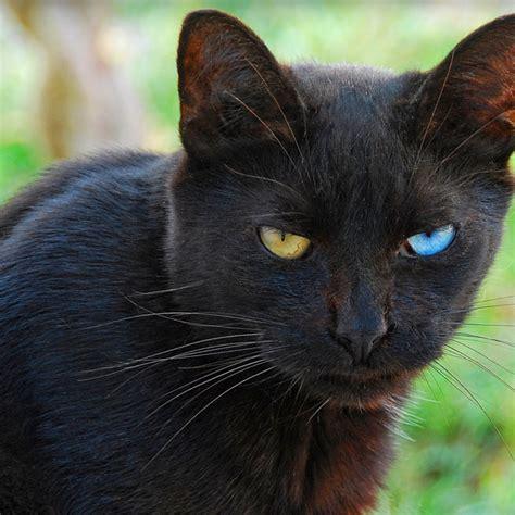 eyes cats different heterochromia names colored cat turkish breeds persian sphynx van angora japanese pupil oriental alaska shorthair bobtail