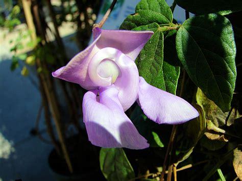 snail flower vine snail vine vigna caracalla xeriscape landscaping plants for the arizona desert environment