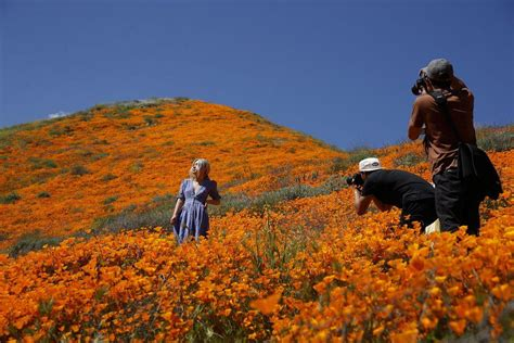 poppy viewing crowds  super bloom overwhelm