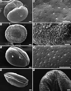 Sem Views Of Pollen Grains  A  C  E  G  And Ornamentation