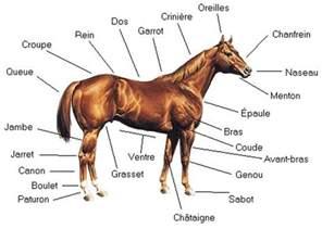 Du Cheval l anatomie du cheval momes net