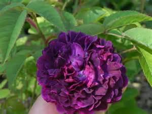 roses anciennes au nom de la rose