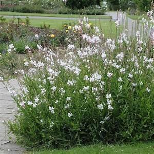 Plantes Et Jardin : gaura lindheimeri blanc plantes et jardins ~ Melissatoandfro.com Idées de Décoration