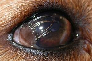Asteroid Hyalosis Treatment Dog - Pics about space