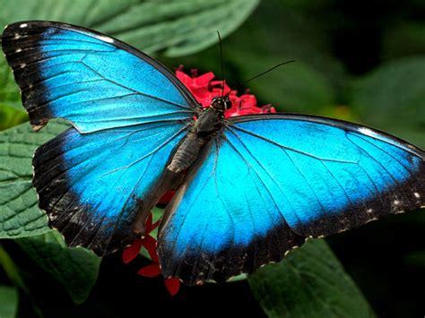 Blue Butterflies Wallpaper Hd : Wallpapers13.com