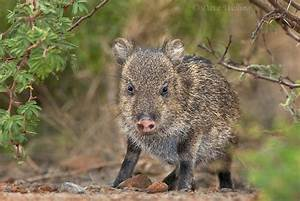 31 best images about PICKY PECCARIES on Pinterest ...