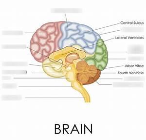 Brain Diagram Psychology