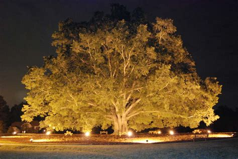 oak tree lighting landscape lighting outdoor contracting